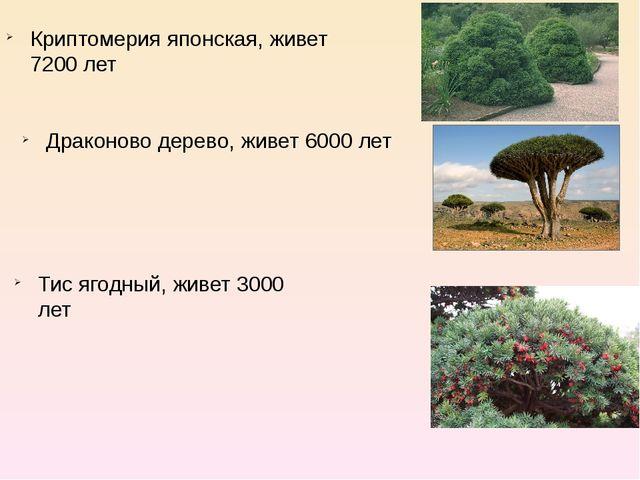Криптомерия японская, живет 7200 лет Драконово дерево, живет 6000 лет Тис яго...
