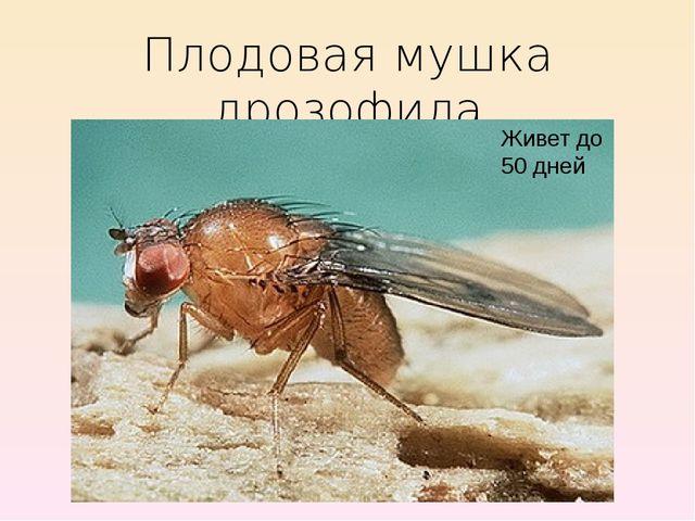 Плодовая мушка дрозофила Живет до 50 дней