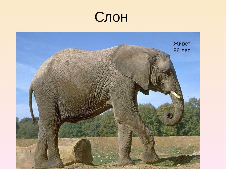 Слон Живет 86 лет