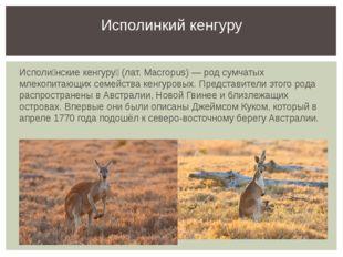 Исполи́нские кенгуру́ (лат. Macropus) — род сумчатых млекопитающих семейства