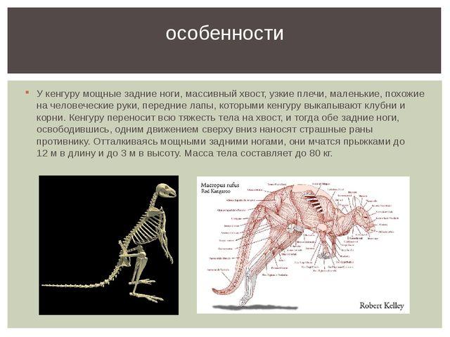 У кенгуру мощные задние ноги, массивный хвост, узкие плечи, маленькие, похожи...
