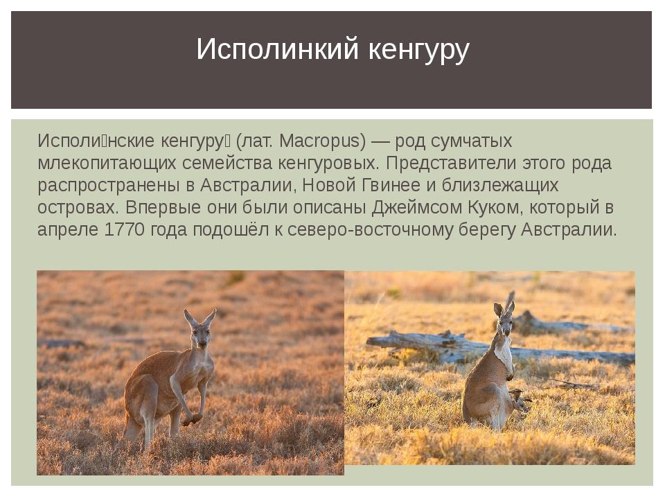 Исполи́нские кенгуру́ (лат. Macropus) — род сумчатых млекопитающих семейства...