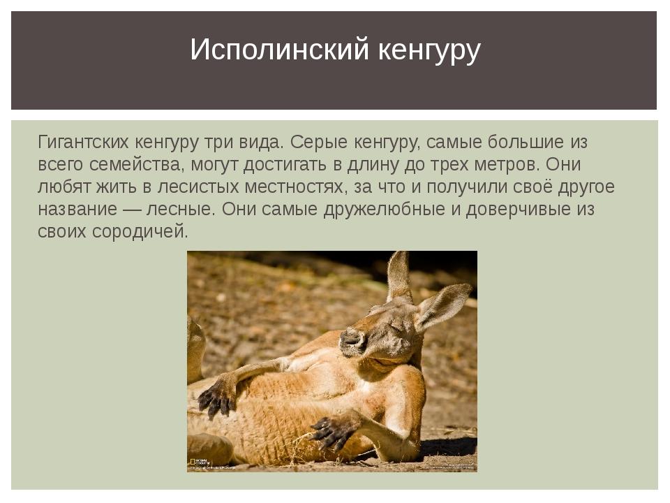 Гигантских кенгуру три вида. Серые кенгуру, самые большие из всего семейства,...