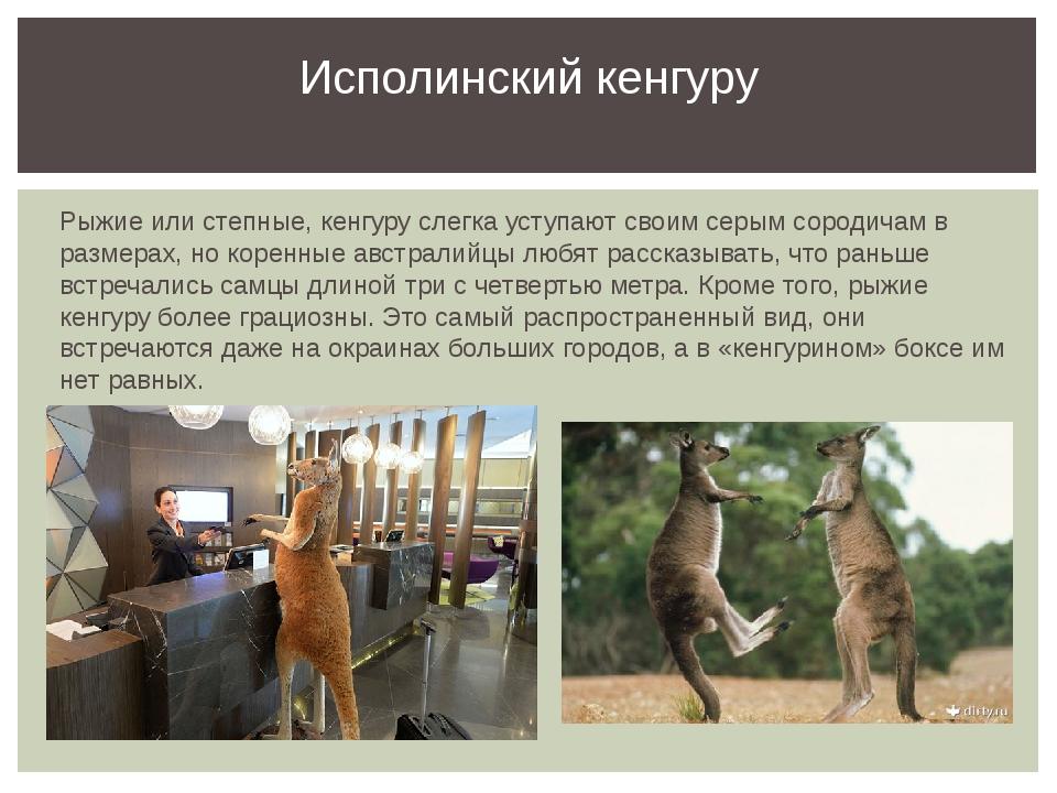 Рыжие или степные, кенгуру слегка уступают своим серым сородичам в размерах,...