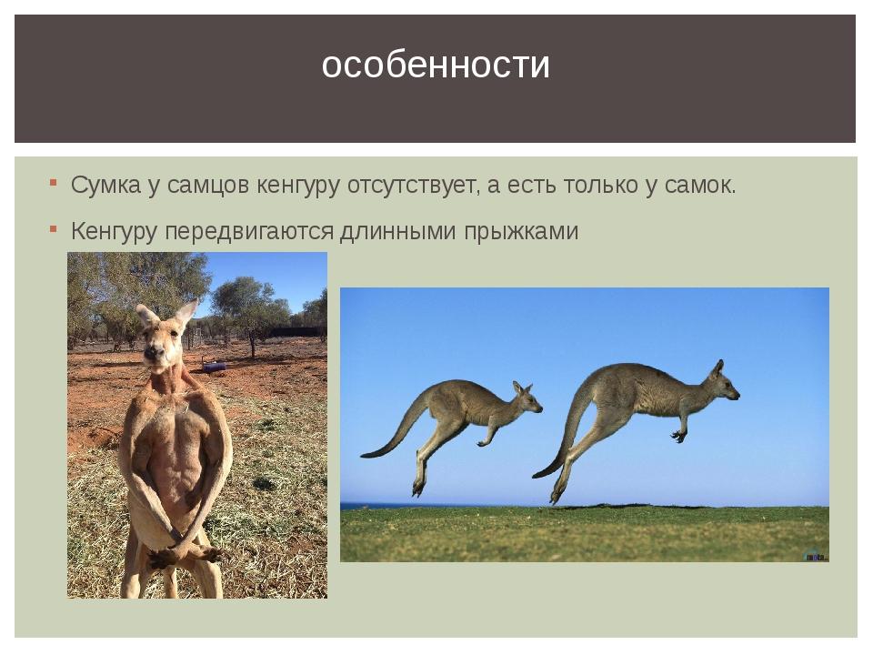 Сумка у самцов кенгуру отсутствует, а есть только у самок. Кенгуру передвигаю...