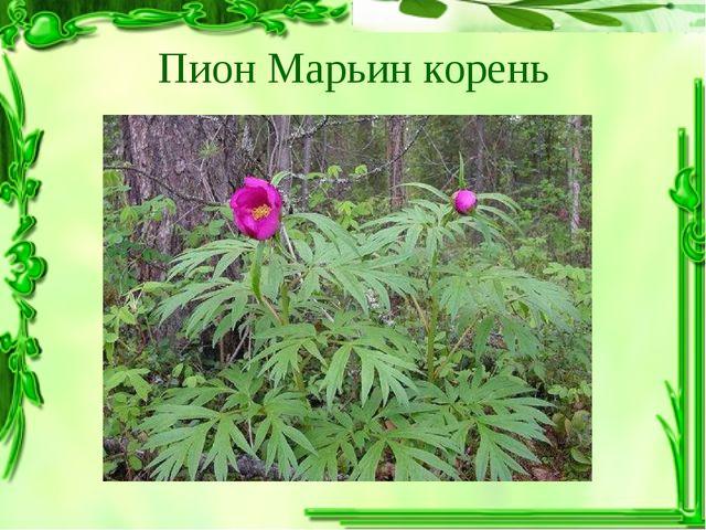 Пион Марьин корень