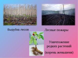 Вырубка лесов Лесные пожары Уничтожение редких растений (корень женьшеня)