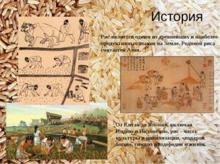 История Рис является одним из древнейших и наиболее продуктивных злаков на Зе