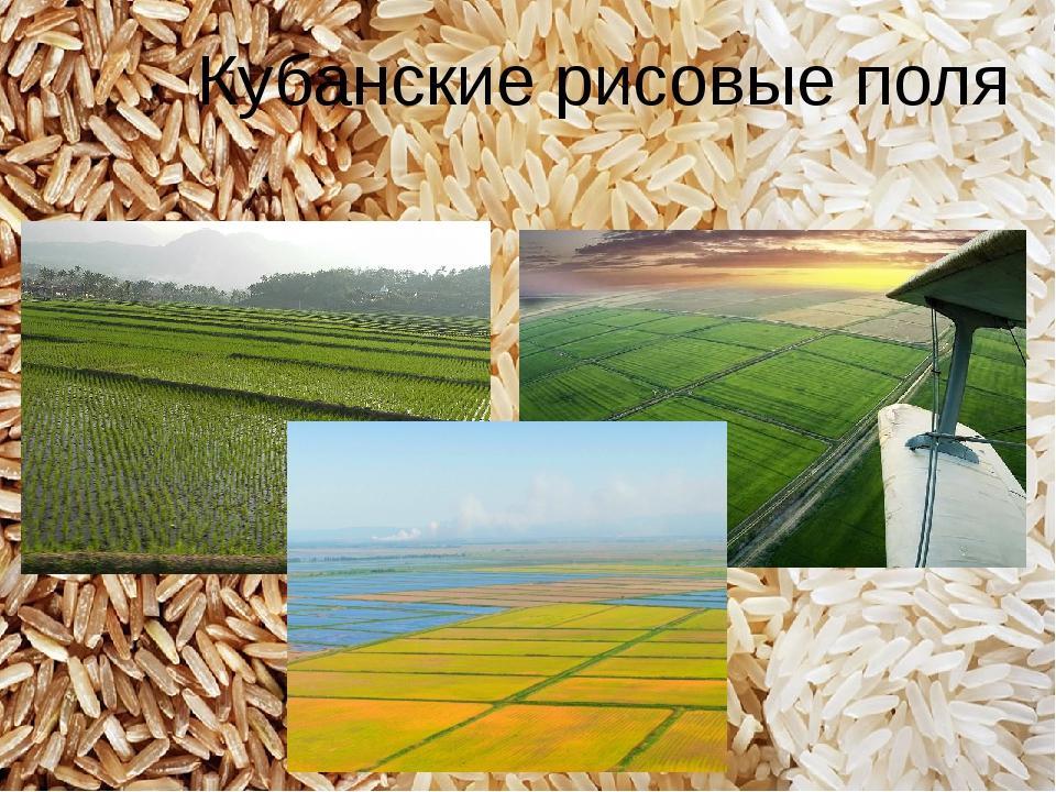 Кубанские рисовые поля