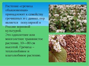 Растение «гречиха обыкновенная» принадлежит к семейству гречишных и с давних