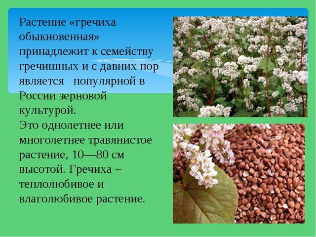 Растение «гречиха обыкновенная» принадлежит к семейству гречишных и с давних...