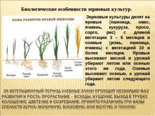 Биологические особенности зерновых культур. Зерновые культуры делят на яровые