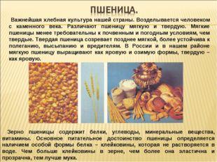 Важнейшая хлебная культура нашей страны. Возделывается человеком с каменного