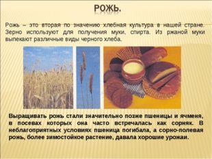Рожь – это вторая по значению хлебная культура в нашей стране. Зерно использу
