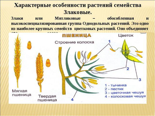 Характерные особенности растений семейства Злаковые. Злаки или Мятликовые – о...