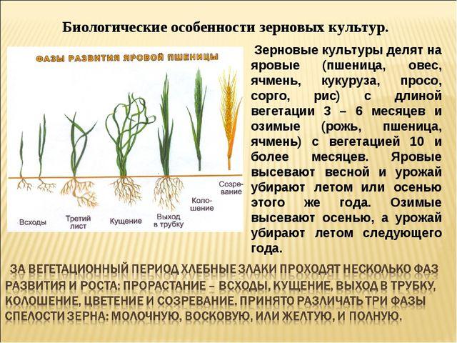 Биологические особенности зерновых культур. Зерновые культуры делят на яровые...