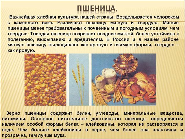 Важнейшая хлебная культура нашей страны. Возделывается человеком с каменного...