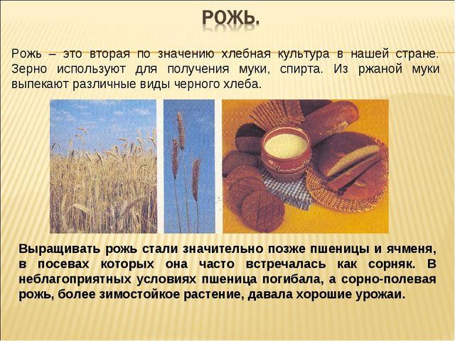Рожь – это вторая по значению хлебная культура в нашей стране. Зерно использу...
