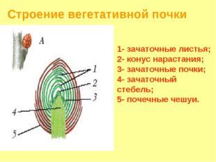 Строение вегетативной почки 1- зачаточные листья; 2- конус нарастания; 3- зач