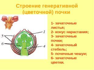Строение генеративной (цветочной) почки 1- зачаточные листья; 2- конус нараст