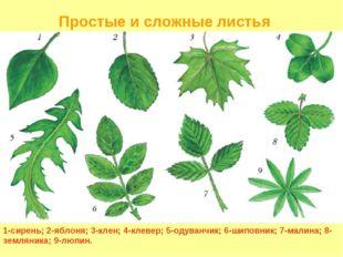 1-сирень; 2-яблоня; 3-клен; 4-клевер; 5-одуванчик; 6-шиповник; 7-малина; 8-зе