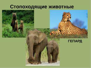 Стопоходящие животные ГЕПАРД