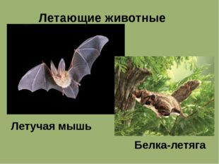 Летающие животные Летучая мышь Белка-летяга