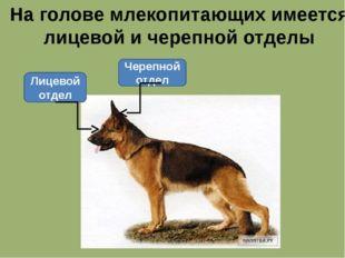 На голове млекопитающих имеется лицевой и черепной отделы Черепной отдел Лице