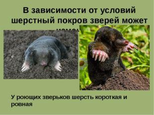 В зависимости от условий шерстный покров зверей может изменятся. У роющих зве