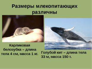 Размеры млекопитающих различны Карликовая белозубка – длина тела 4 см, масса