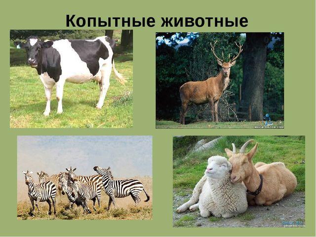 Копытные животные