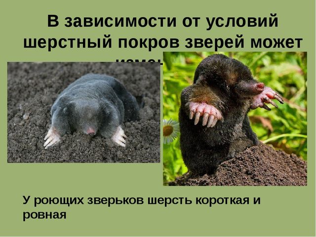 В зависимости от условий шерстный покров зверей может изменятся. У роющих зве...