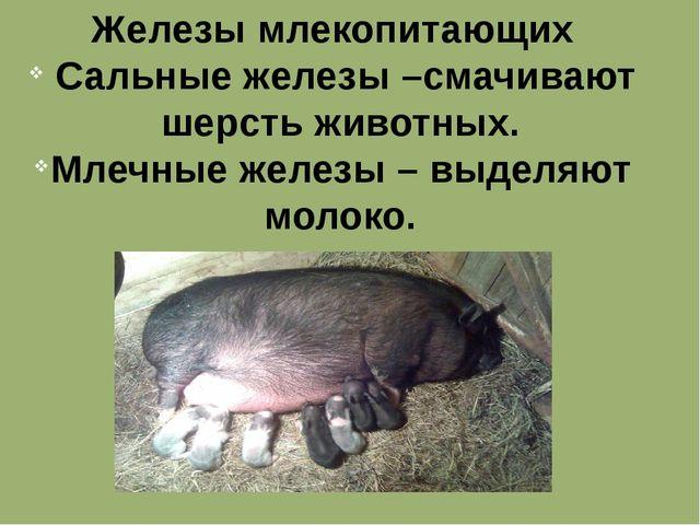 Железы млекопитающих Сальные железы –смачивают шерсть животных. Млечные желез...