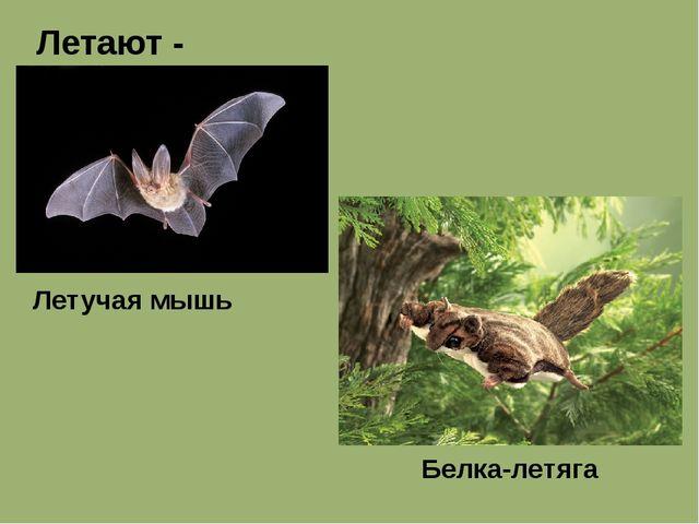 Летают - Летучая мышь Белка-летяга