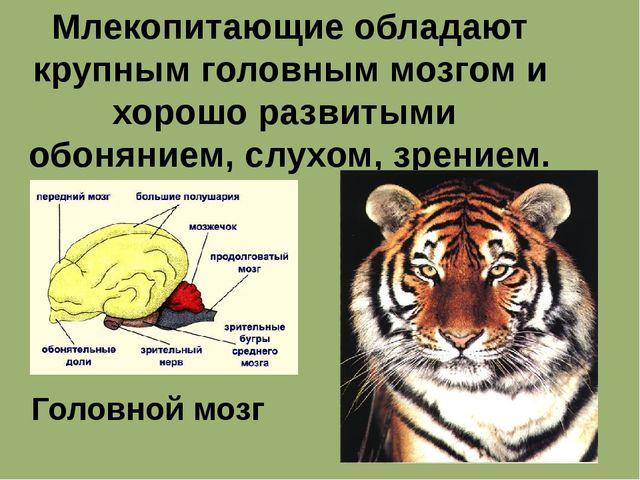Млекопитающие обладают крупным головным мозгом и хорошо развитыми обонянием,...