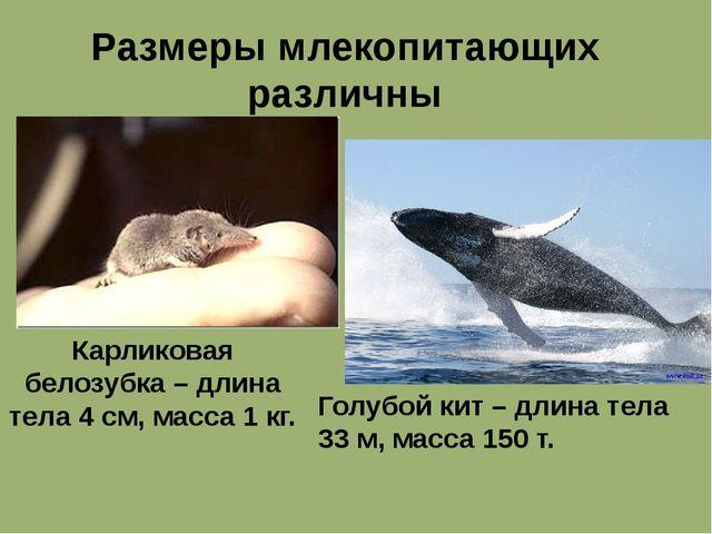 Размеры млекопитающих различны Карликовая белозубка – длина тела 4 см, масса...