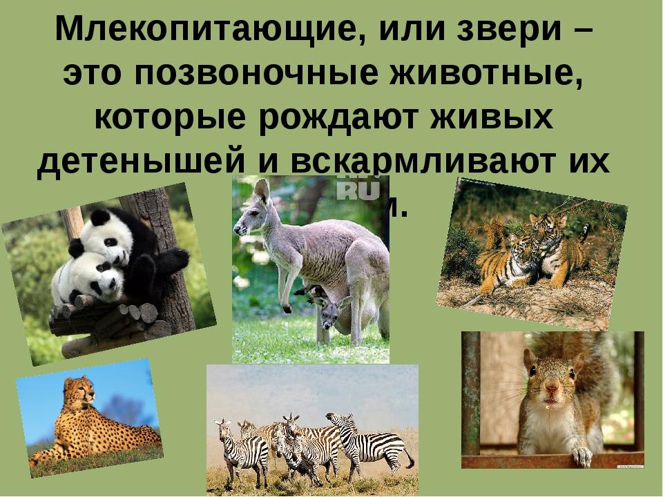 Млекопитающие, или звери – это позвоночные животные, которые рождают живых де...