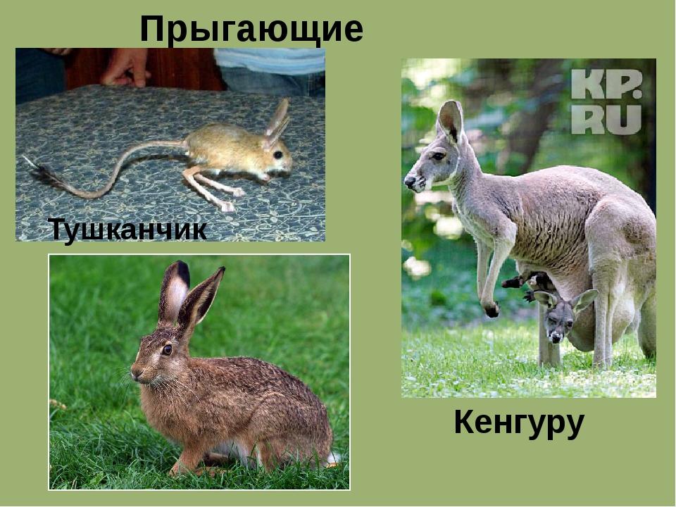 Прыгающие животные Кенгуру Тушканчик