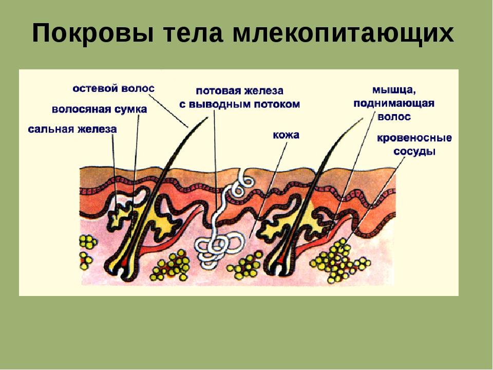 Покровы тела млекопитающих