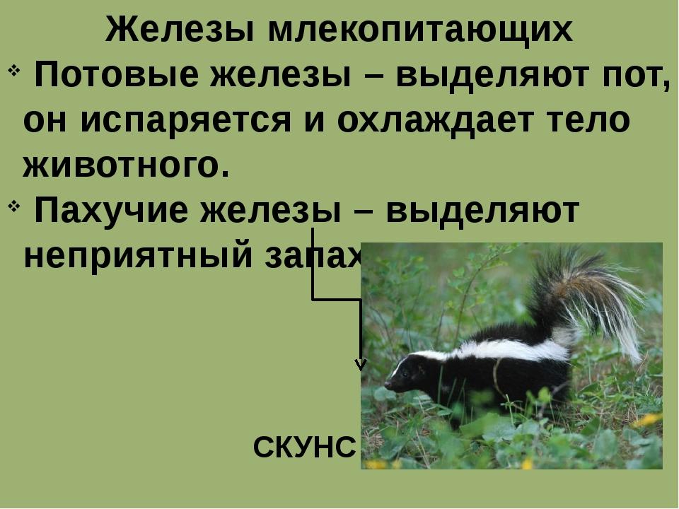 Железы млекопитающих Потовые железы – выделяют пот, он испаряется и охлаждает...