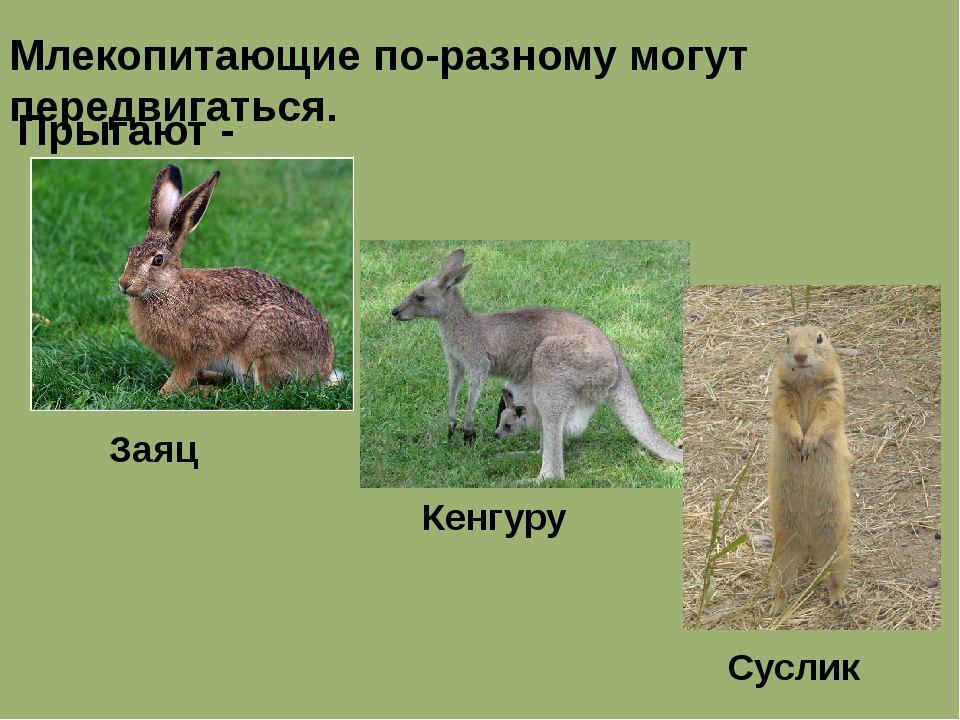 Млекопитающие по-разному могут передвигаться. Прыгают - Заяц Кенгуру Суслик