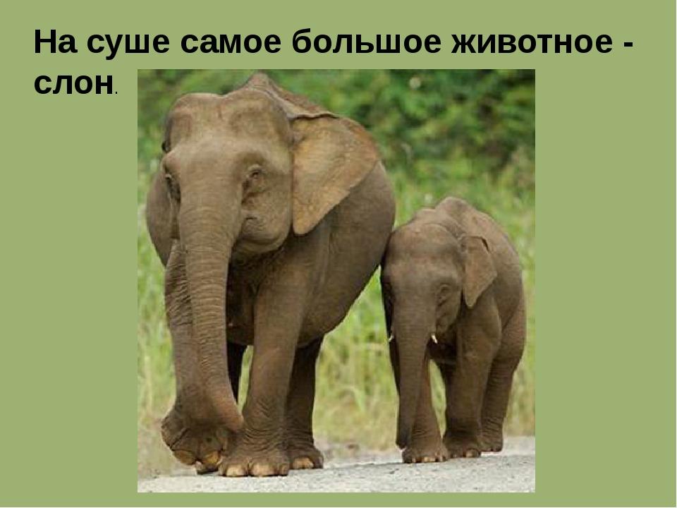 На суше самое большое животное - слон.