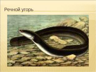Речной угорь