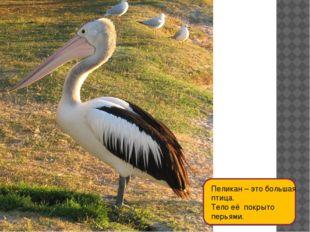 Пеликан – это большая птица. Тело её покрыто перьями.