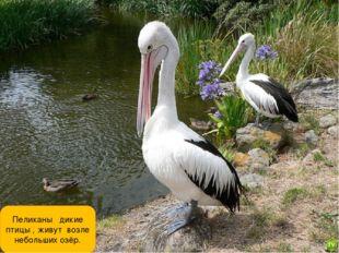 Пеликаны дикие птицы , живут возле небольших озёр.