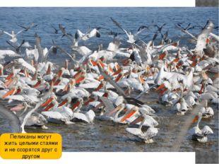 Пеликаны могут жить целыми стаями и не ссорятся друг с другом