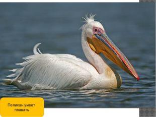 Пеликан умеет плавать
