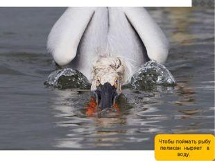 Чтобы поймать рыбу пеликан ныряет в воду.