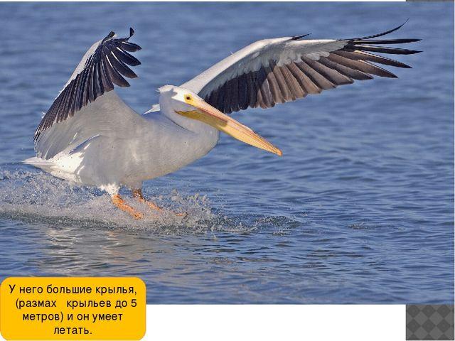 У него большие крылья, (размах крыльев до 5 метров) и он умеет летать.