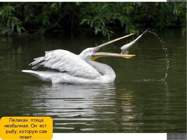 Пеликан птица необычная. Он ест рыбу, которую сам ловит.